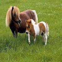 cai-si-ponei-2