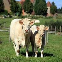 Vache et veau au près à Champlécy (71)