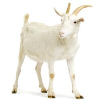 Goat standing up isolated on a white background